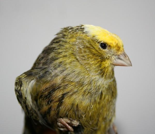 L enigma del lizard il canarino lucertola rivista di for Rivista di programmi domestici