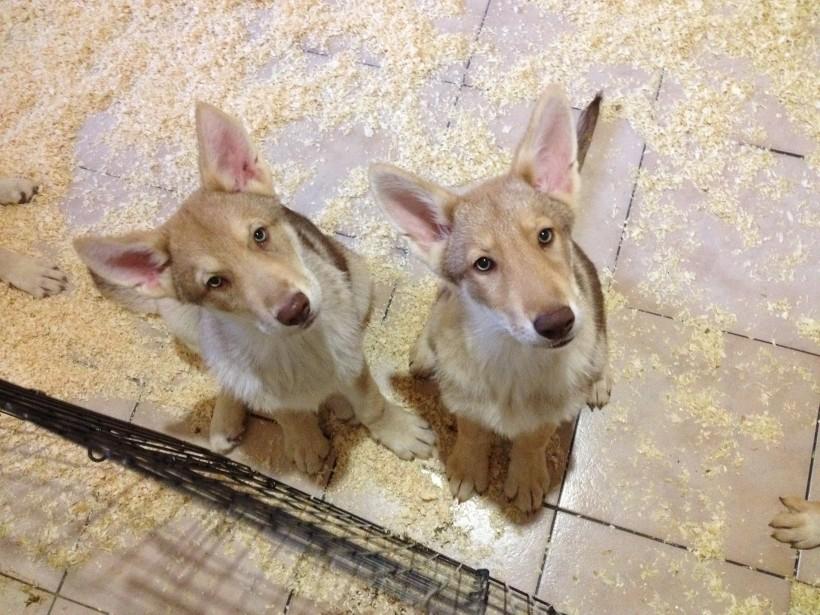 cuccioli cane lupo di saarloos