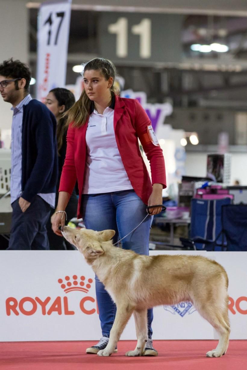Mostra canina con cucciolo di Saarloos