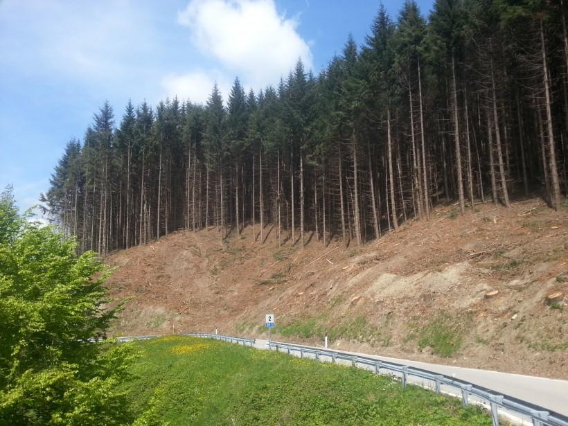 douglasia bosco