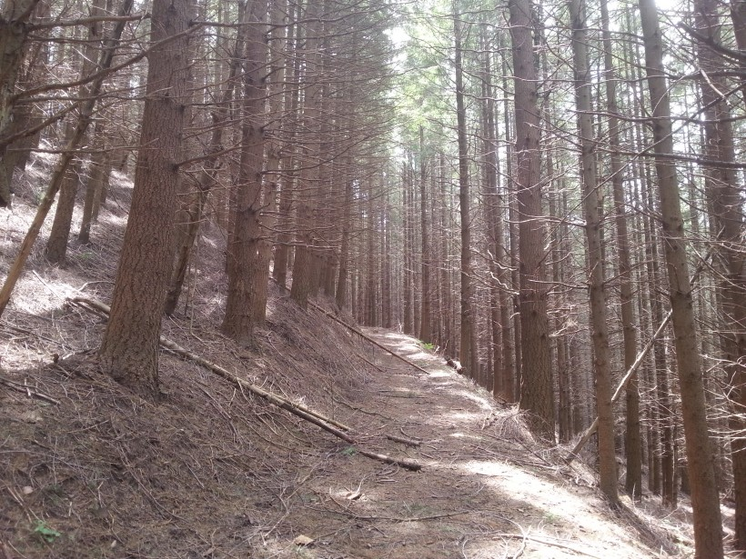 douglasia bosco piante rami