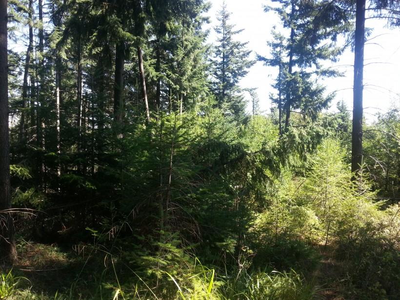 rinnovazione douglasia bosco