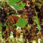 L'appassimento delle uve e gli zuccheri del vino