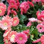 """Studio della durata della """"Shelf life"""" di fiori recisi"""
