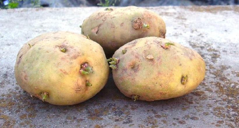 patata bianca piattilina