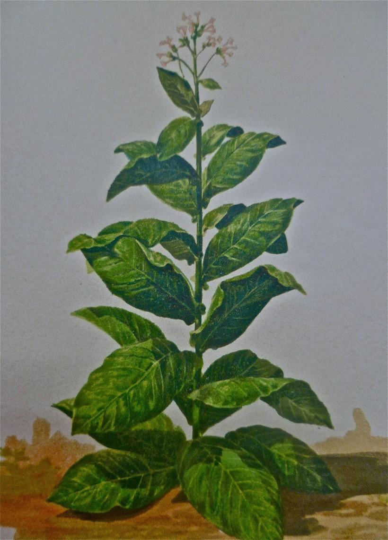 tabacco Spagnuolo Comiso pianta fioritura