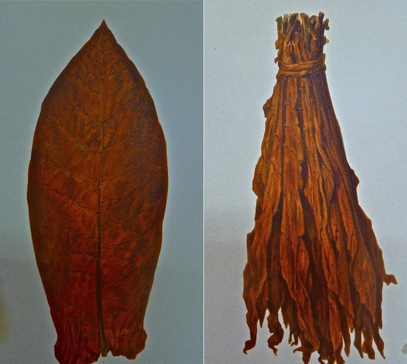 tabacco Spagnuolo di Comiso foglie