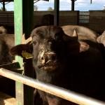 bufale lattazione vitello
