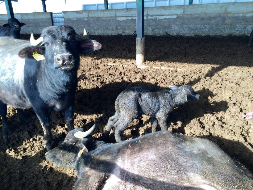 vitella bufala bufale