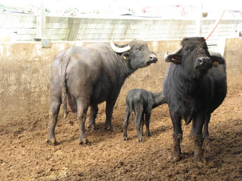 allevamento bufale vitello latte