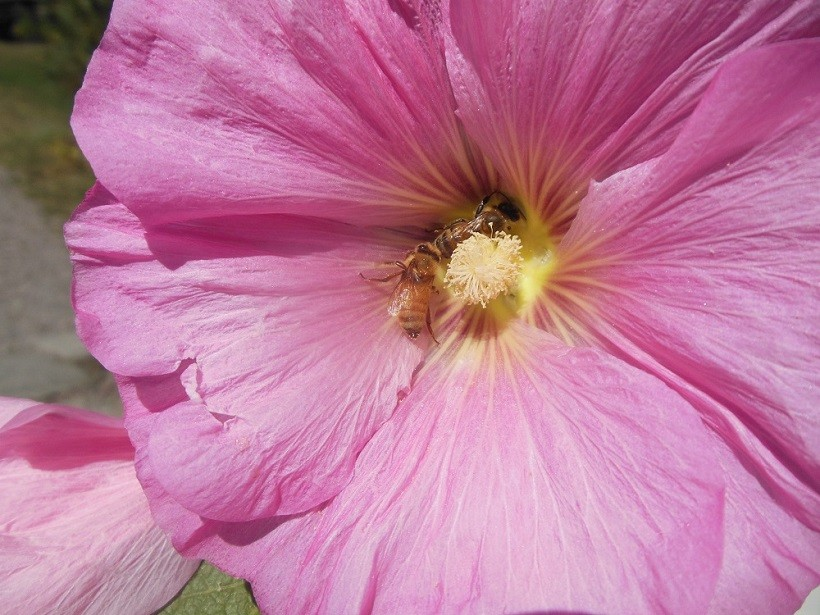 fiore api apicoltura