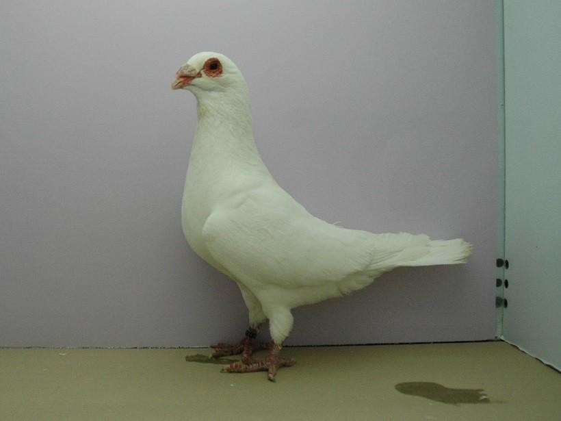 colombo piacentino razza
