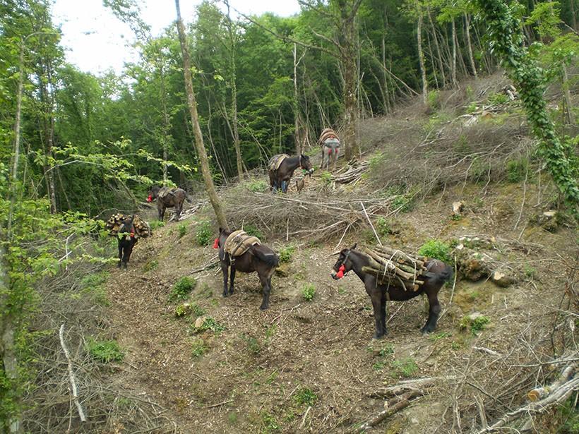 mulo muli soma esbosco legna da ardere bosco ceduo