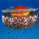 medusa cibo