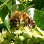 La sinergia tra api e piante