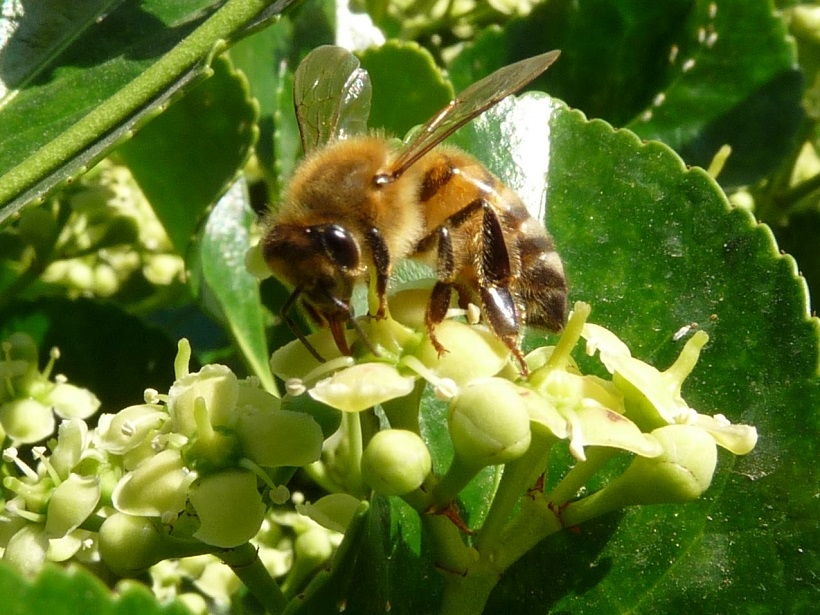 ape api apis mellifera
