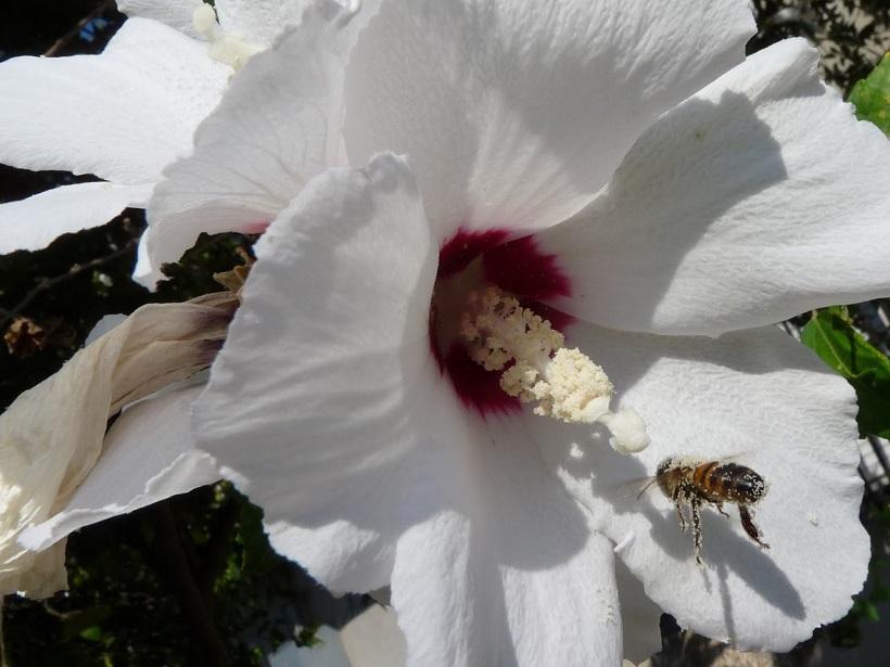 ape fiore impollinazione