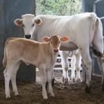 chianina vacca genetica agricoltura