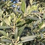 Cambiamenti climatici: impatto sull'olivicoltura meridionale