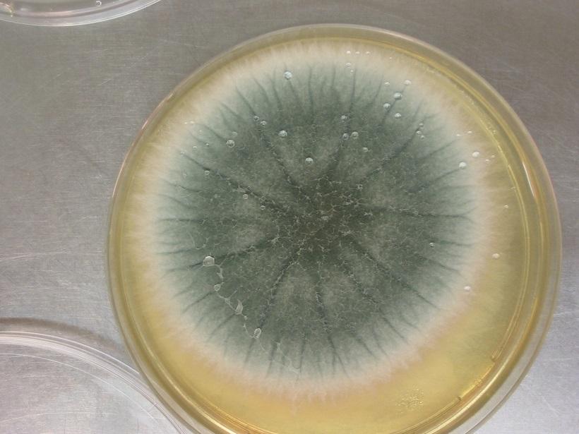 aspergillus fungo coltura muffa