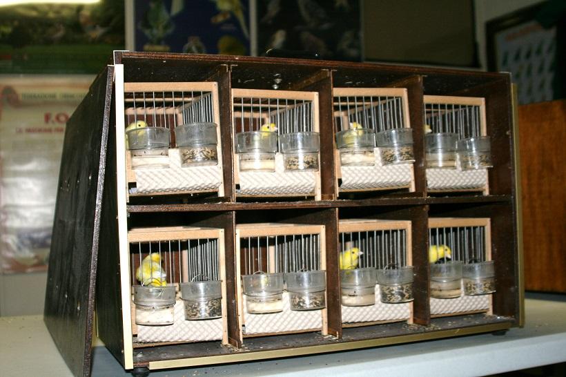 gabbie mostra canarini uccelli