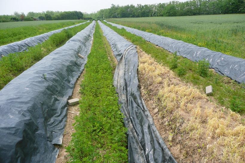 campo asparago teli pacciamanti
