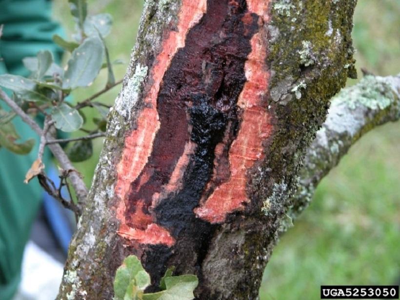 sintomi Phytophthora pianta albero quercia