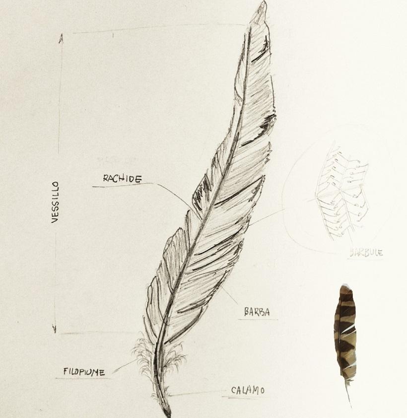 piumaggio uccello arlecchino portoghese