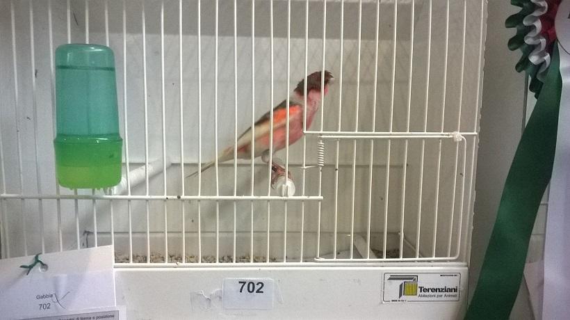 piumaggio arlecchino portoghese uccello