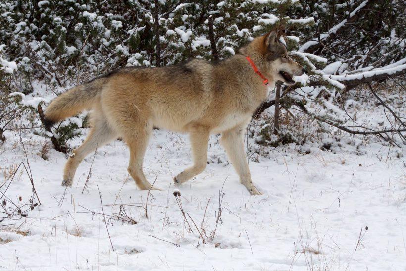 cane lupo american wolfdog