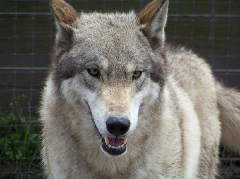 american wolf dog