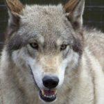 American Wolfdog, un affascinante ibrido