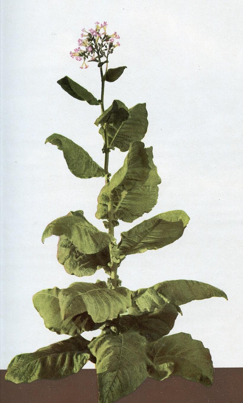 tabacco italiano moro di cori