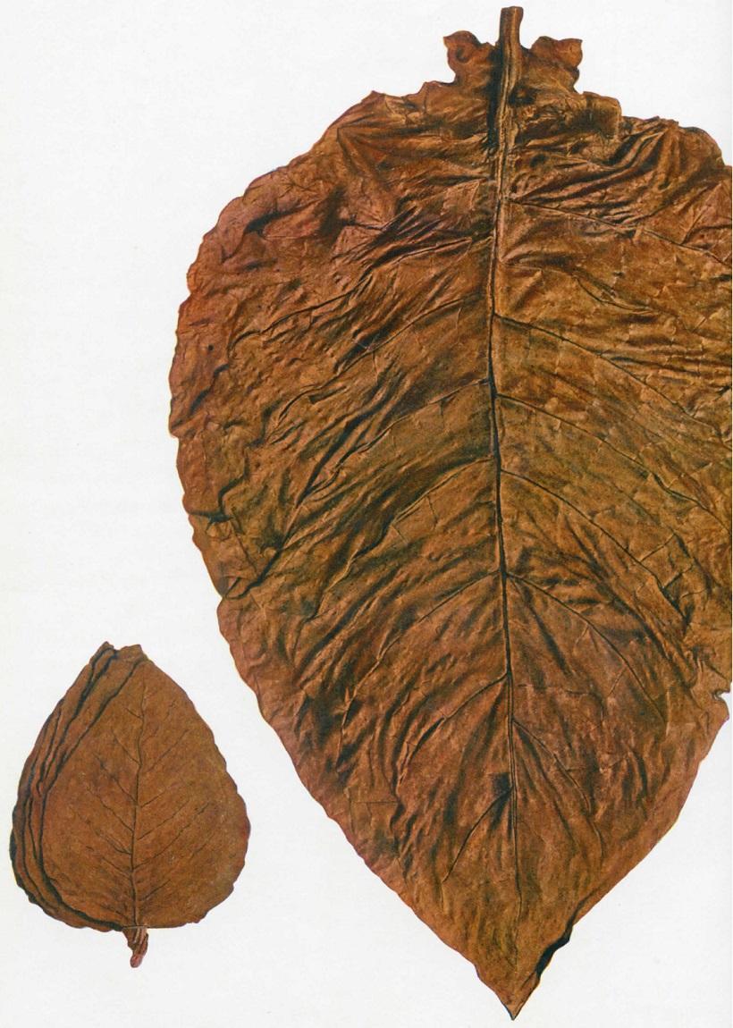 foglie tabacco moro di cori