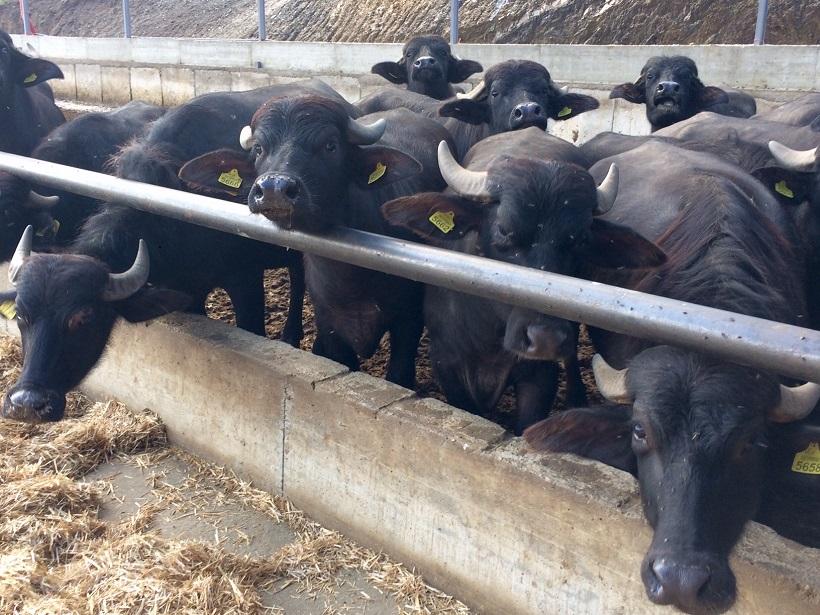 bufali allevamento