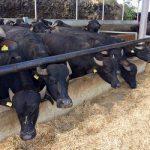 L'allevamento bufalino moderno