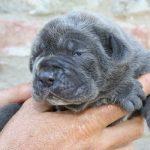 cane allevamento consanguineità cuccioli incrocio