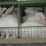 Applicazione della metodologia Life Cycle Assessment alla produzione del coniglio da carne