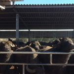 Bufale e inverno, una difficile coesistenza