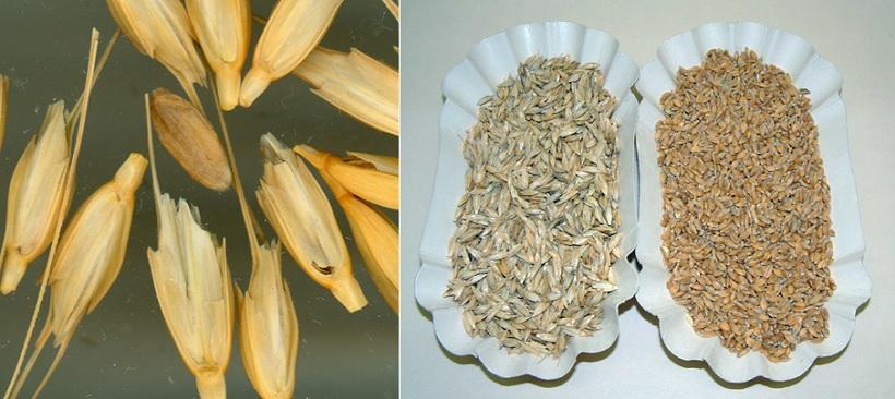 grano monococco cariossidi frumento crusca