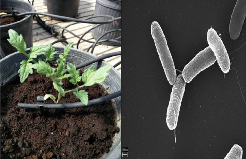 pomodoro azotobacter inoculato stress resistenza