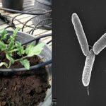 Tolleranza allo stress salino in pomodoro inoculato con Azotobacter chrooccocum