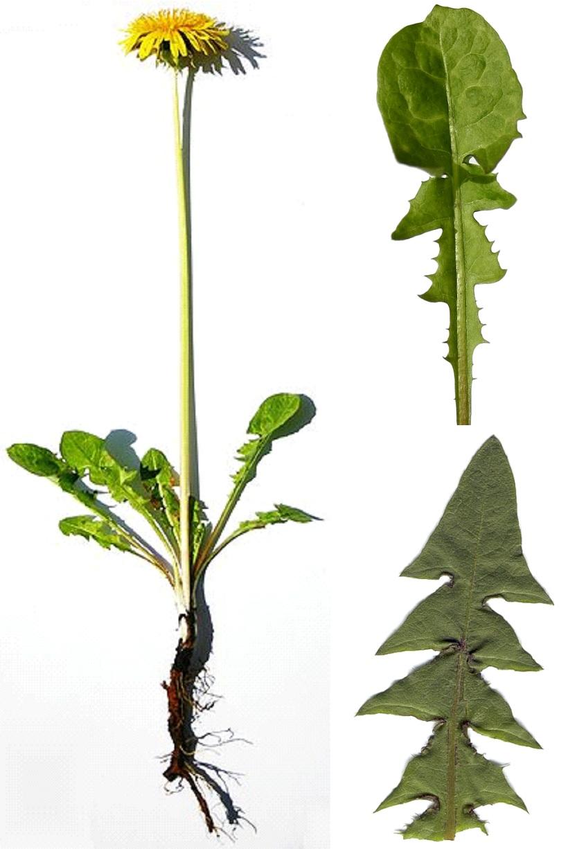 tarassaco pianta medicina