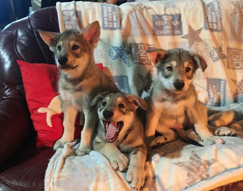 saarloos cani cuccioli