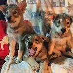 allevamento cani cuccioli