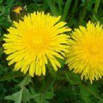 Il Tarassaco, da una pianta spontanea mille e mille usi