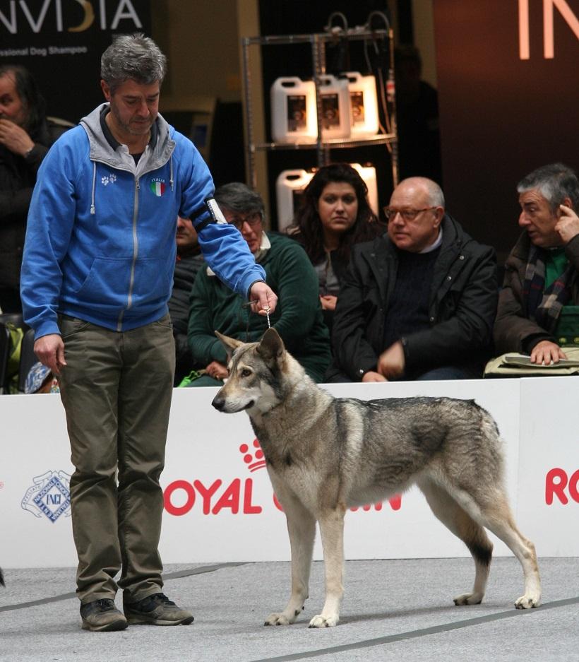 cane lupo saarloos allevamendo standard