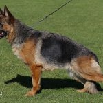 cane standard razza