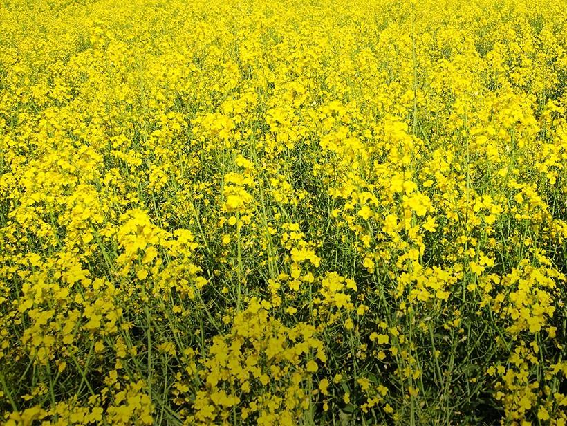 colza fiori olio coltivazione campo agricoltura