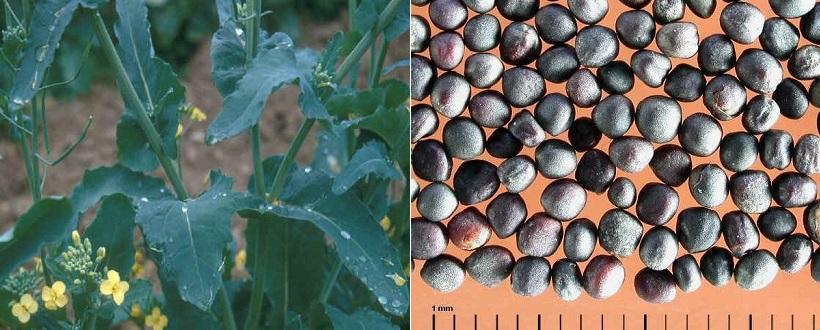 colza semi olio pianta
